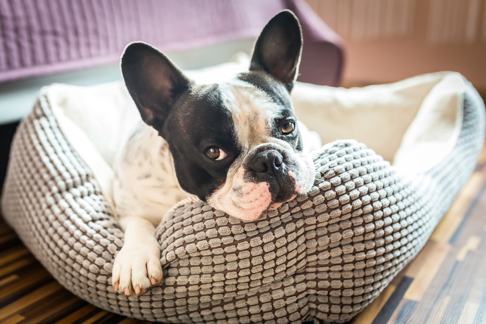 french bulldog on dog bed